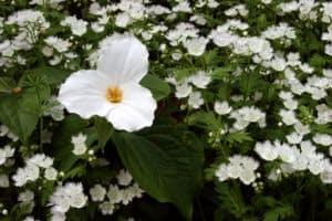 white trillium in the Great Smoky Mountains
