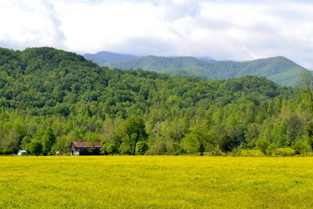 Field of yellow and Smoky Mountains in Wears Valley Tn